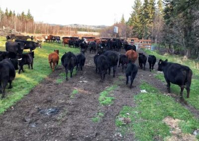 great-alaskan-cattle-drive-2022-beef-production